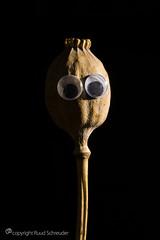 Mr. Poppy sidelit (Ruud.) Tags: ruudschreuder nikon nikond810 d810 105mm 105mmf28 macromondays sidelit mm hmm macro makro closeup klaproos poppy googly eyes