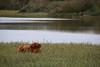 Sunday Lazy Sunday (Johan Moerbeek) Tags: highlander cow grass meertje lake water castricum duinen dunes noordholland ngc