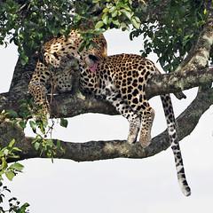 Masai Mara - Day 1 (lens buddy) Tags: masaimara kenya africa wild wildlife africanplains safari bigjourneyco animals africanleopard leopard leopardintree sleepingleopard restingleopard cat bigcat hunter leopardonbranch big5