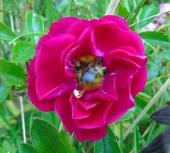 Hungry Bee (stuartcroy) Tags: orkney island beautiful bee rose