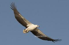 "White-bellied Sea Eagle (Haliaeetus leucogaster) (Gus McNab) Tags: whitebelliedseaeagle haliaeetusleucogaster bird birds aves avifauna wildlife ""wildlife photography"" fauna australia ""australian birds"""