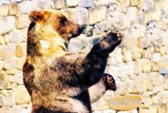 Jardim Zoológico de Lisboa | Lisbon Zoo | Zoo de Lisbonne | Zoo di Lisbona | Parque zoológico de Lisboa | Zoo von Lissabon | Лиссабонский зоопарк (António José Rocha) Tags: portugal lisboa zoo jardimzoológicodelisboa urso bear orso oso castanho ursocastanho abraço natureza fauna vidaselvagem