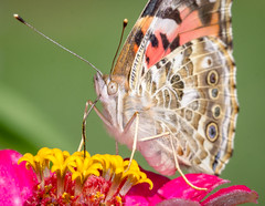 Close-up of a lady (tresed47) Tags: 2017 201709sep 20170921bombayhookbirds butterflies canon7d chestercounty content folder home insects paintedlady pennsylvania peterscamera petersphotos places season september summer takenby us