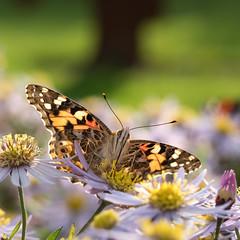 Painted Lady (Explored) (susie2778) Tags: olympus omdem1mkii 60mmmacrof28 sussexprairiegarden butterfly paintedlady purpleflower olympusm60mmf28macro