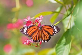 Monarch on Rose-flowered Jatropha