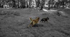 The chase (Justitia Omnibus) Tags: art amazingshot blackwhite bw canon camping canonphotos canonusa dog perspective perfectioninphotography foto friendship life justgoshoot love nature outdoors photography red arizona tree usa waycoolshots