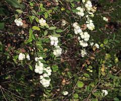 J20171012-0029—Symphoricarpos albus var laevigatus—RPBG (John Rusk) Tags: ebparksok taxonomy:kingdom=plantae plantae taxonomy:subkingdom=tracheophyta tracheophyta taxonomy:phylum=magnoliophyta magnoliophyta taxonomy:class=magnoliopsida magnoliopsida taxonomy:order=dipsacales dipsacales taxonomy:family=caprifoliaceae caprifoliaceae taxonomy:subfamily=caprifolioideae caprifolioideae taxonomy:genus=symphoricarpos symphoricarpos taxonomy:species=albus taxonomy:binomial=symphoricarposalbus taxonomy:trinomial=symphoricarposalbuslaevigatus symphoricarposalbuslaevigatus snowberry symalbla symphorinelisse symphoricarposalbusva taxonomy:common=snowberry taxonomy:common=symalbla taxonomy:common=symphorinelisse