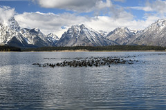 Large Flock of American Coots