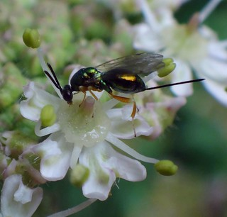 Wee Pricker. Ichneumon Wasp on Cow Parsnip or Common Hogweed, Heracleum sphondylium, Gaasperplaspark, Amsterdam, The Netherlands