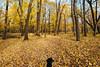 Cortana - Glendalough State Park (Tony Webster) Tags: cortana glendalough glendaloughstatepark minnesota october autumn dog fall fallcolors statepark yellowtrees battlelake unitedstates us