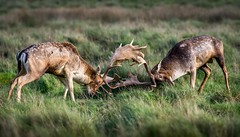 Fallow Deer Rutting. (Jez Nunn) Tags: fallowdeerstagwildlifenaturelandscaped7200rutting