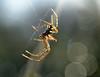 glowing (conall..) Tags: closeup raynox dcr250 macro silk web spider male metelina metellina backlight backlit