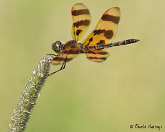 Halloween Pennant Dragonfly (male) (CharlesHastings) Tags: wildlife newcastle insects samuelawilmotnaturearea dragonfly halloweenpennant nature celithemiseponina