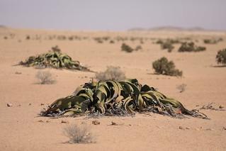 Welwitschia Mirabilis Fog Desert Plant Welwitschia Flats Namibia