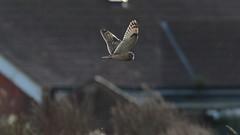 Short Eared Owl (Asio flammeus) (Layzeesod) Tags: short eared owl asio flammeus