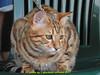 gio_k2_2017_08_353 (giordano torretta alias giokappadue) Tags: abetone bengala gastone gatto kat