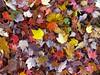 Autumn colour palette (vietnamvera) Tags: westonbirtarboretum autumncolour autumn autumnleaves trees acers acerleaves