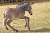 grevy zebra artis BB2A2579 (j.a.kok) Tags: zebra grevyzebra grevy´szebra equusgrevyi equus artis animal zoogdier dier mammal herbivore afrika africa