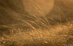 Maritime grasses (Eiona R. [Busy over the Weekend]) Tags: swansea wales unitedkingdom gb smq bokeh grasses wfc