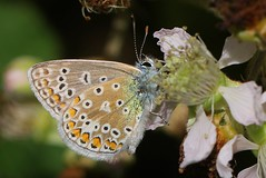 Common Blue 200717 (1) (Richard Collier - Wildlife and Travel Photography) Tags: wildlife naturalhistory insects butterflies british britishinsect commonblue macro closeup ngc