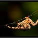 """""""Just Hanging Around... Waiting... Patiently... With a Fluffy Bum..."""" (NikonShutterBug1) Tags: macro closeup nikond7100 tamron60mm spider insects nature wildlife bokeh spe smartphotoeditor entomology"""