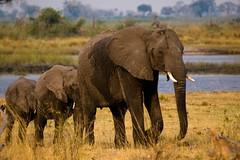 Line of Elephants (iamfisheye) Tags: 2013 50200mm africa african animal botswana camera kit kwando lens olympus safari wilderness zd zuiko e3 elephant