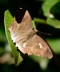 Common Snow Flat (Tagiades japetus obscurus Mabille) (RamaWarrier) Tags: commonsnowflat tagiadesjapetusobscurusmabille tagiadesjapetus kallar tamilnadu mettuppalayam flat butterfly snow