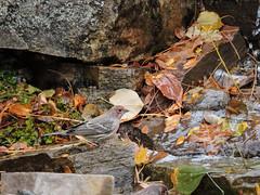 House Finch at Steve' Water Garden (Boulder Flying Circus Birders) Tags: housefinch haemorhousmexicanus housefinchcolorado housefinchboulder wildbirdboulder wildbirdcolorado wildbirdcompany formerwildbirdcenter notwildbirdsunlimited birdseed birdwalk saturdaybirders stevefrye'syard watergarden longmont colorado wildbirdcompanyowner eileenrutherford