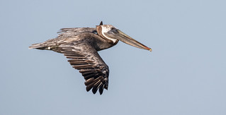 Tagged Brown Pelican in Flight