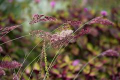 Ruby Grass Savannah (d.cobb56) Tags: rubygrass september outdoor nature garden gardening savannahrubygrass bokeh grass plant pink brown