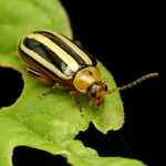 Pigweed Flea Beetle thumbnail