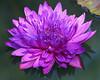 Fuschia Water Lily copy (sherri_lynn) Tags: waterlily lily lilies flowers gardens gibbsgardens lilypond waterlilies japanesegarden