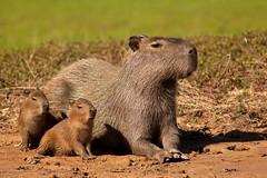 Capybara Family (aivar.mikko) Tags: capybara capybaras enjoying sunset family pantanal brazil cubs rodents southamerica matogrosso wetlands portojofre rodent cuiaba river wildlife animals capibara hydrochoerushydrochaeris southamerican brazilian transpantaneira south america american porto jofre hydrochoerus hydrochaeris mato grosso babies