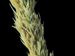 2017-10-14-14.28.20 ZS PMax Calamagrostis nutkaensis-1 (John Rusk) Tags: olympuspenepl7body canonflbellows nikonelnikkor80mmf56lens shutterspeed160s iso100 zerenestacker stackof17images inflorescence taxonomy:kingdom=plantae plantae taxonomy:subkingdom=tracheophyta tracheophyta taxonomy:phylum=magnoliophyta magnoliophyta taxonomy:class=liliopsida liliopsida taxonomy:order=poales poales taxonomy:family=poaceae poaceae taxonomy:genus=calamagrostis calamagrostis taxonomy:species=nutkaensis taxonomy:binomial=calamagrostisnutkaensis calamagrostisnutkaensis pacificsmallreedgrass taxonomy:common=pacificsmallreedgrass