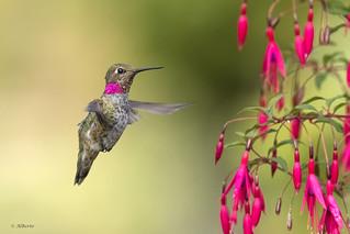 Anna's Hummingbird / Colibri d'Anna