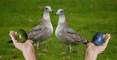Gullible (swong95765) Tags: gulls grass bird birds alert watching eggs confused humor