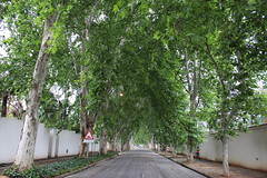 Avenue of Trees (Rckr88) Tags: johannesburg southafrica south africa street streets road roads avenue trees avenueoftrees avenues tree greenery green city cities gauteng