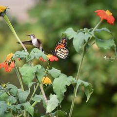 Two of my fave's (Explore) (BHawk Photography) Tags: rubythroatedhummingbird hummingbird birding monarchbutterfly danausplexippus butterflygarden flowers mexicansunflower fall migratestomexico bhawkinsphotography