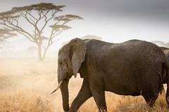 A Wider Shadow (Beppe Rijs) Tags: africa afrika elefant herde lebensraum serengeti tansania tanzania elephant habitat herd dust tree animal wildlife tier gras baum säugetier himmel