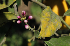 Petits citrons deviendront grands... (philippeguillot21) Tags: bourgeon citron fruit lemon petiteîle réunion pixelistes canon