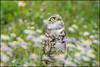 Things are looking up (Nikographer [Jon]) Tags: burrowingowl florida 20160328d810036815 2016 march spring mar owl bird blowers bokeh nikographer nikon d810