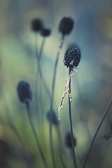 time goes by... (christian mu) Tags: flowers bokeh nature autumn germany muenster münster botanischergarten botanicalgarden sonya7ii sony 90mm 9028 macro christianmu schlossgarten 9028g