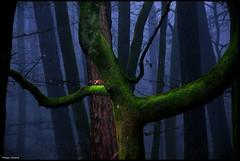 Beaumont-Pied-de-Boeuf (Sarthe) (gondardphilippe) Tags: beaumontpieddeboeuf sarthe maine paysdelaloire bercé arbre bois forêt lumière bleu vert