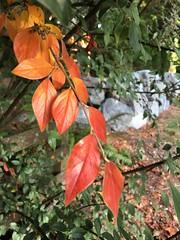 283/365: Autumn Red