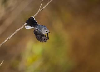 Blue gray Gnatcatcher takes flight Madrona Marsh Torrance 306