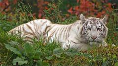 Rare white Bengal tiger (Foto Martien) Tags: whitetiger wittetijger weisetiger white tigreblanc tigreblanco wit blueeyes blauweogen bengaltiger bengaalsetijger siberiantiger amurtiger siberischetijger amoertijger koreaansetijger mantsjoersetijger pantheratigrisaltaica pantheratigristigris royalbengaltiger koningstijger indiantiger manchuriantiger altaictiger koreantiger northchinatiger noordchinesetijger ussuritiger oessoeritijger pantheratigrisbengalensis bigcat wildcat cat grotekat wildekat kat mohan radja dierentuin dierenpark zoo zooparcoverloon overloon noordbrabant northbrabant netherlands nederland holland dutch geotagging geotag geotaggedwithgps slta77v a77 a77v sonyalpha77 tamron70300mmf456sp martienuiterweerd fotomartien