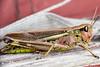 Golfing Locust - _TNY_2996 (Calle Söderberg) Tags: macro canon canon5dmkii canonef100mmf28usmmacro canoneos5dmarkii flash meike mk300 glassdiffusor insect grasshopper locust largemarshgrasshopper mecostethus grossus stethophyma grossum caelifera acrididae locustinae yellow pink gräshoppa markgräshoppa f19