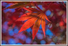 autumn leaves (günter mengedoth) Tags: smctakumar55mmf18 ahorn acer acerpalmatum herbst herbstfärbung autumn simply superb simplysuperb saariysqualitypictures