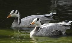 Bar-headed geese (blue33hibiscus) Tags: barheadedgoose goose waterfowl waterbird cotswoldwildlifepark burford oxfordshire