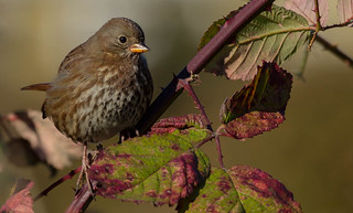 Sooty Fox Sparrow (Passerella iliaca unalaschcensis) - Point Roberts, WA